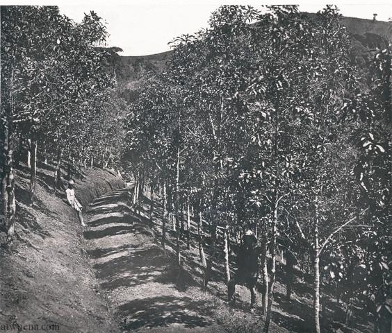 Dodabetta Cinchona plantation
